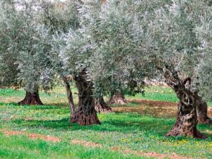 ulivi produzione olio