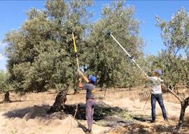 raccolta olio d'oliva bio niscia